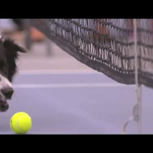 3 dogs play ball boy for Venus