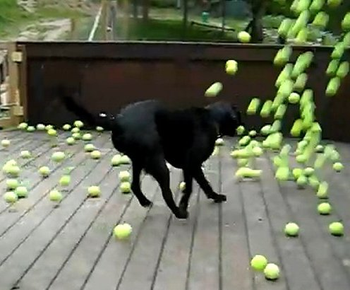 Black lab loves tennis balls