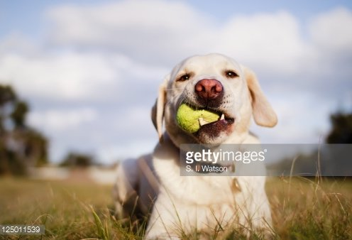 Labrador Dog Chewing Tennis