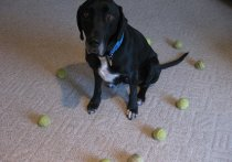 How to manage a black Lab's tennis ball obsession