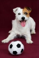Jack Russell dog with ball