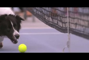 Ball dogs at tennis match