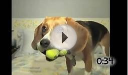 Animals Playing With Tennis Balls