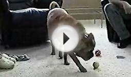 Dog Fits Three Tennis Balls In His Mouth