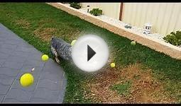 DOG GOES CRAZY FOR TENNIS BALLS