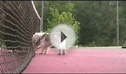 Dog helping with tennis