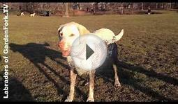Dogs in the mud + tennis balls GardenFork Labradors #13