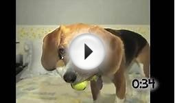 Dogs Playing With Tennis Balls