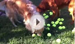 Happy golden retriever tennis ball overload