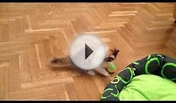 Persian Kitten Lilly Vanilli playing with a tennis ball